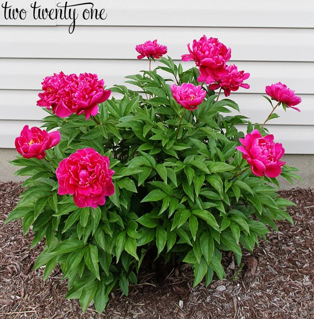 Growing Peonies Peony care Peony and Front yards