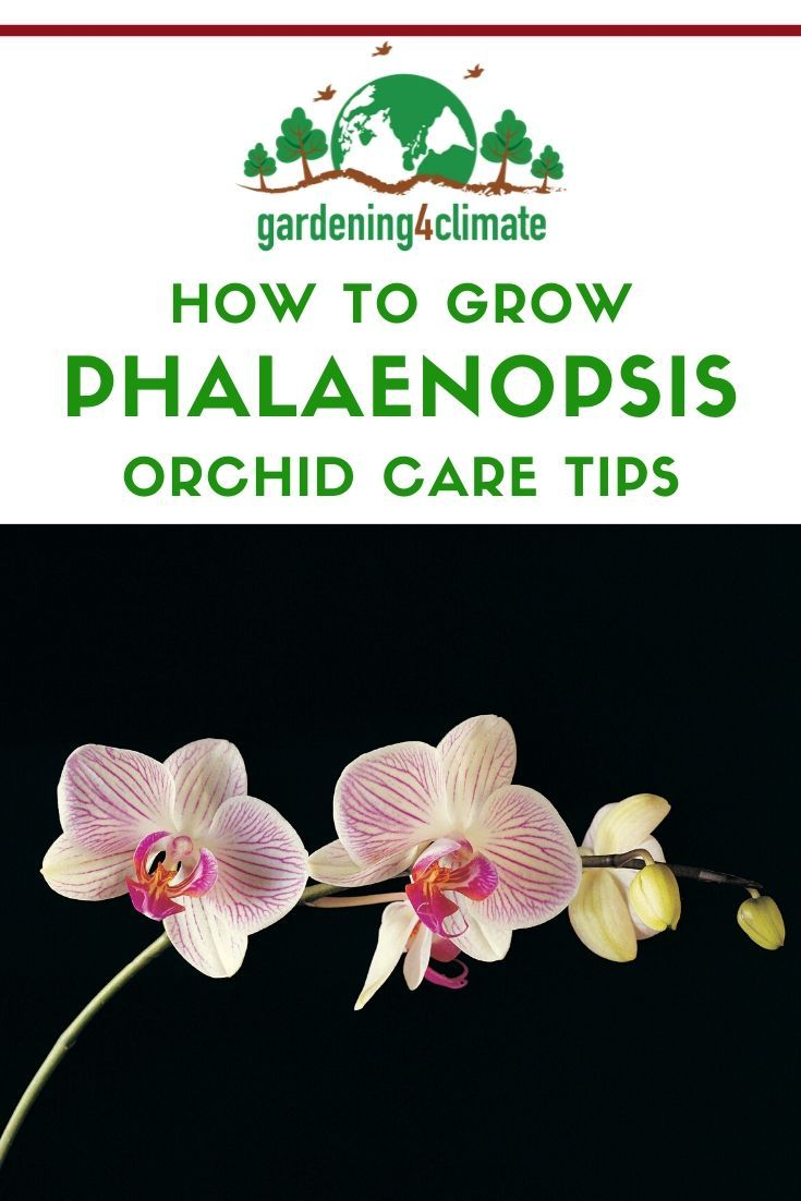 Photo of Phalaenopsis Orchid Care Tips For Beginners