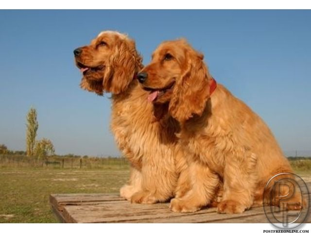 Beautiful And Cute Cocker Spaniel Dog Puppies Available For Sale
