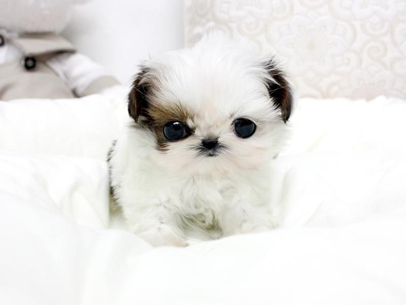 Teacup Shih Tzu Puppies For Sale Posh Standard Available Puppies Shih Tzu Puppy Shih Tzu Teacup Shih Tzu