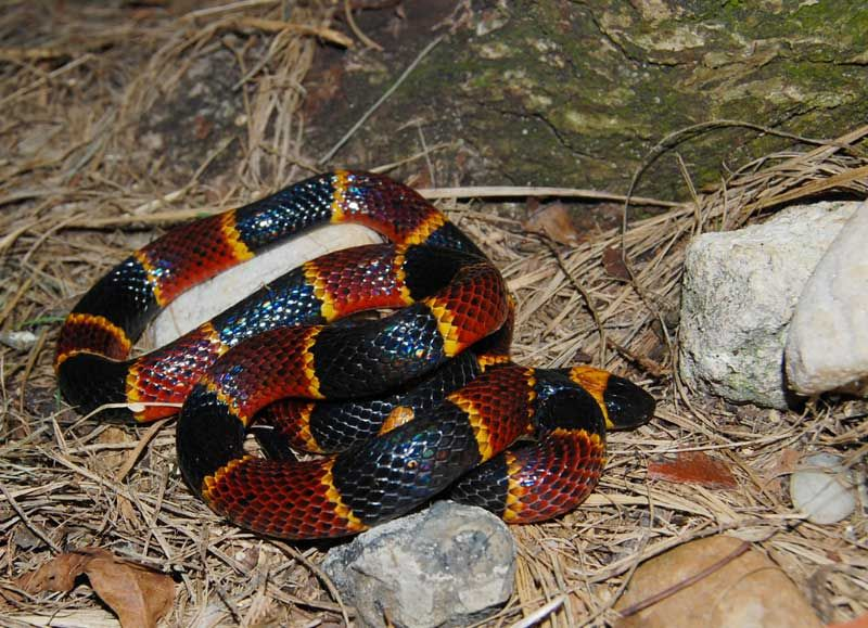 Eastern Coral Snake - DO NOT TOUCH | Coral snake, Milk ...