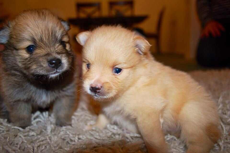 Pomeranian Puppies At 3 Weeks Old Willows Gorgeous Babies Beau Chewy Cute Animals Pomeranian Puppy Fur Babies