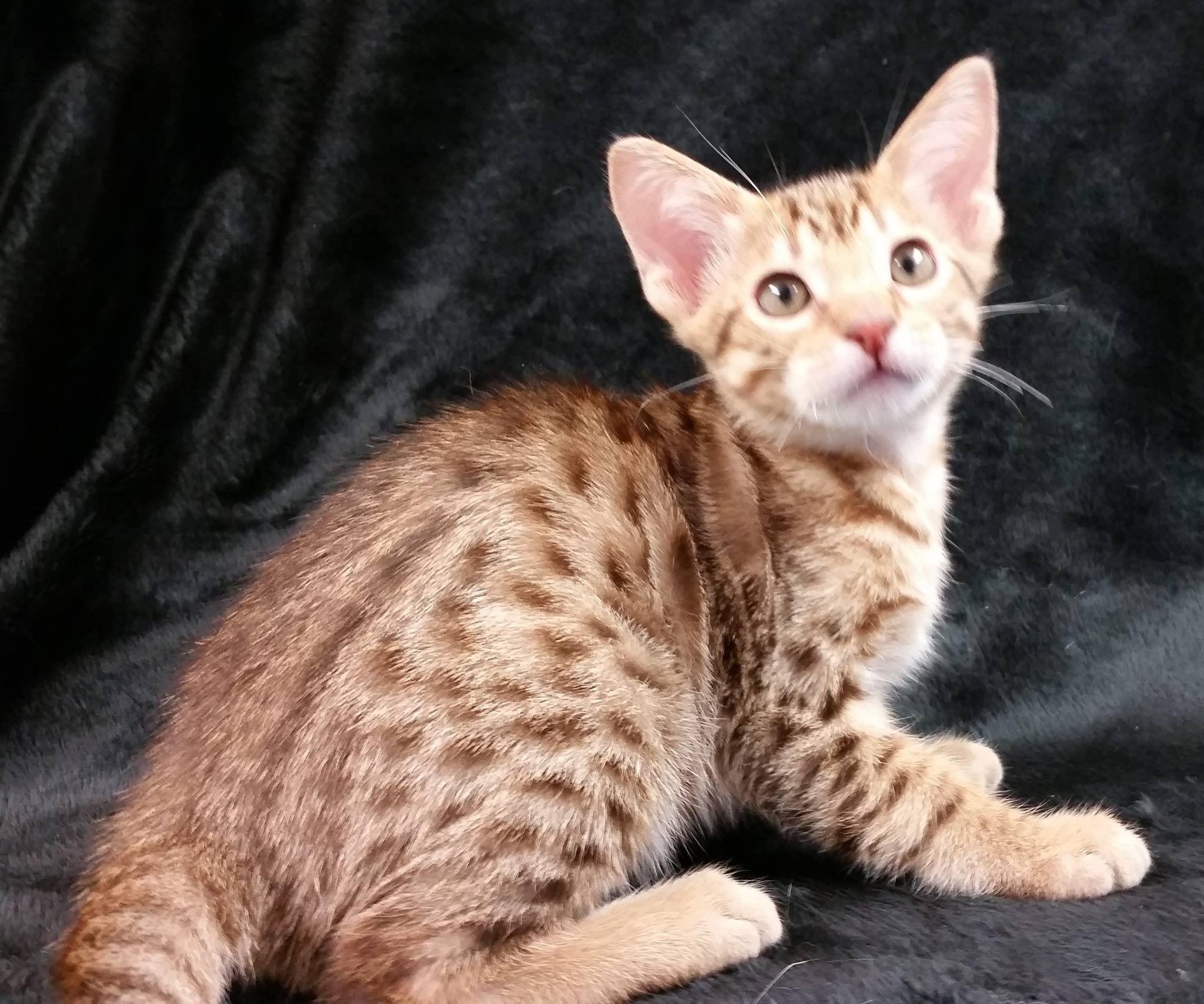 Ocicat Kitten CATS ALL KINDS Pinterest