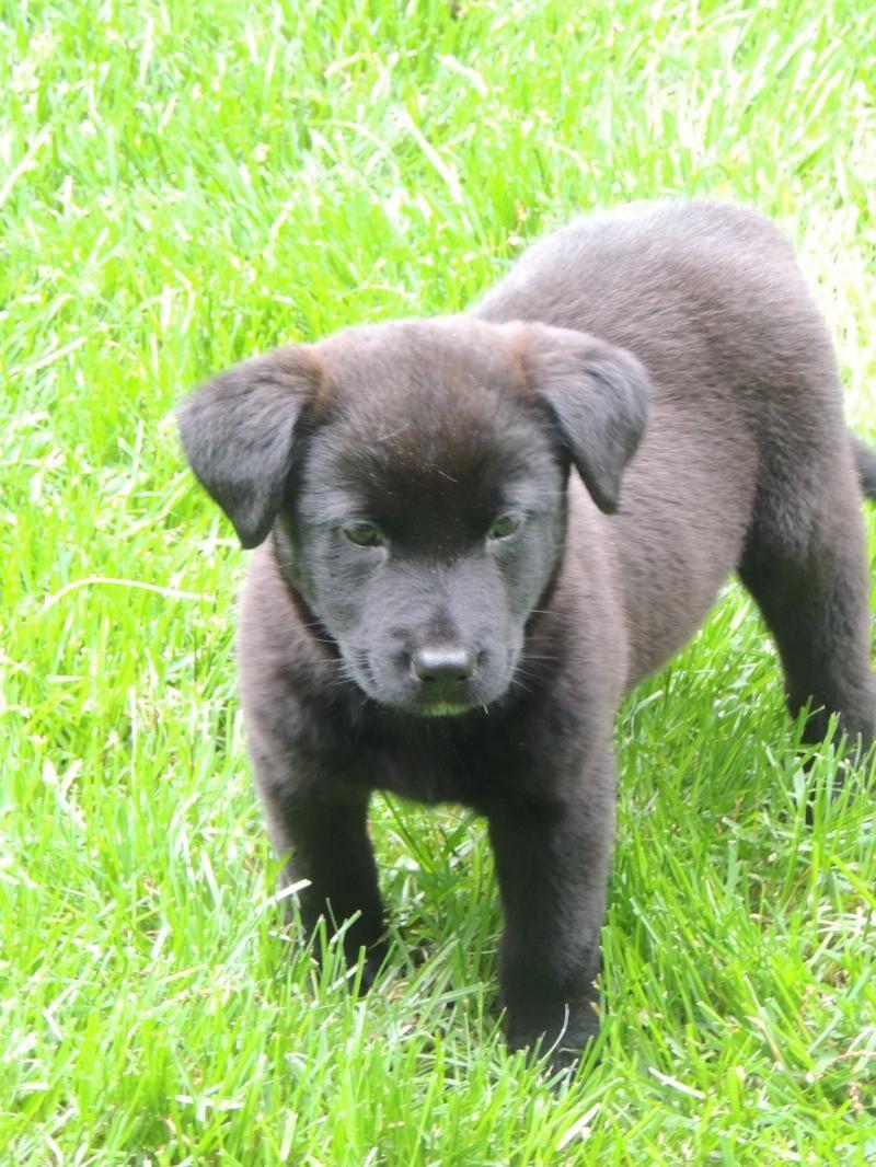 Adopt Tucker on Retriever dog, Labrador retriever dog