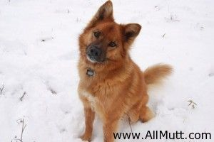 Border Collie Chow Chow Mix Sampson Chow Chow Mix Border