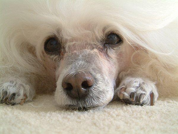 Pudel - Zwergpudel - Hund - Hunderassen Porträt|Stadthunde.com Hunde-Community