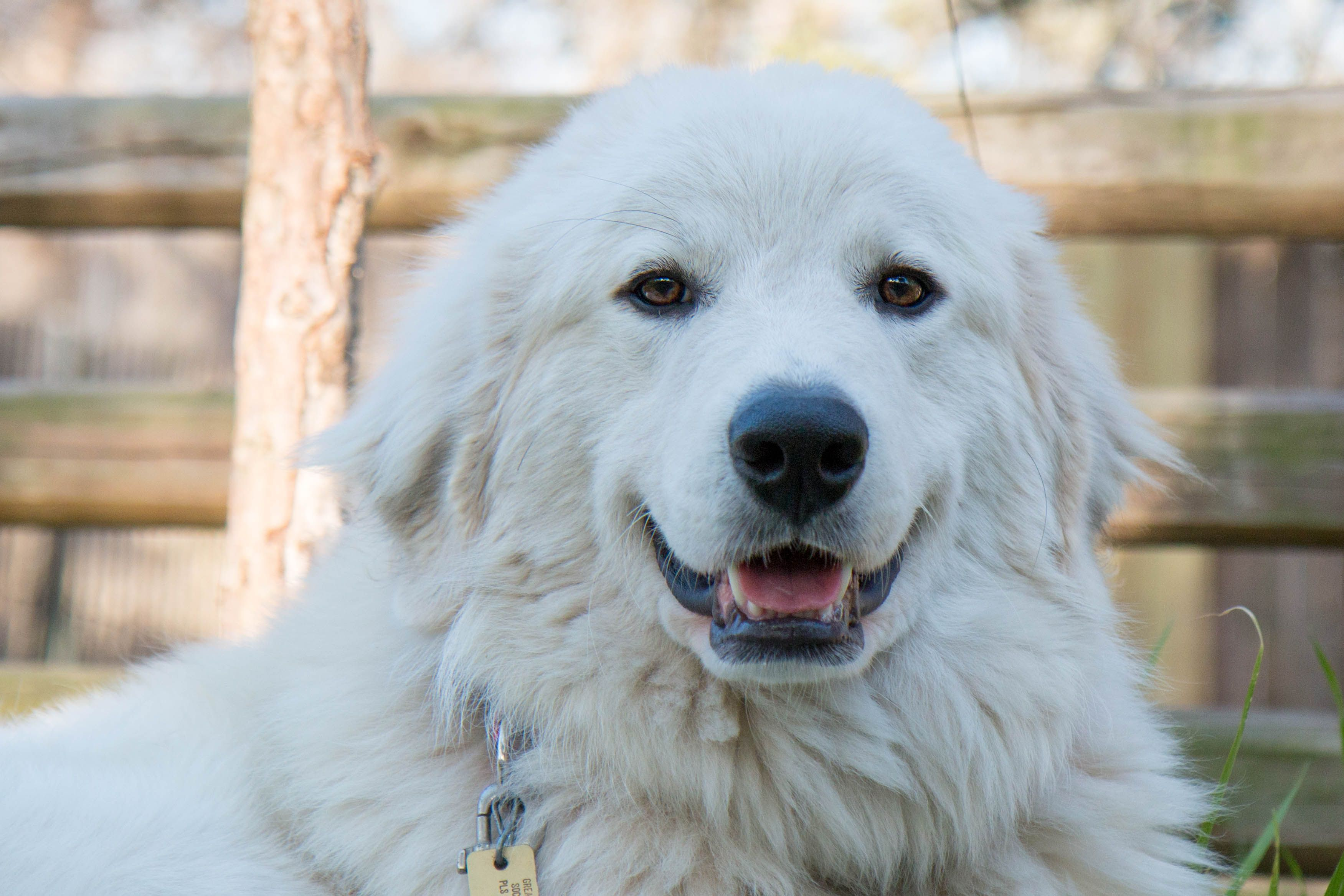 Great Pyrenees Dog For Adoption In Spring Tx Adn 785943 On