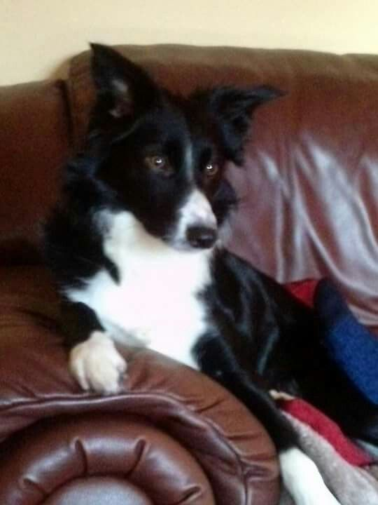 Not Forgetting Our Ruby Grand Dog Border Collie Collie