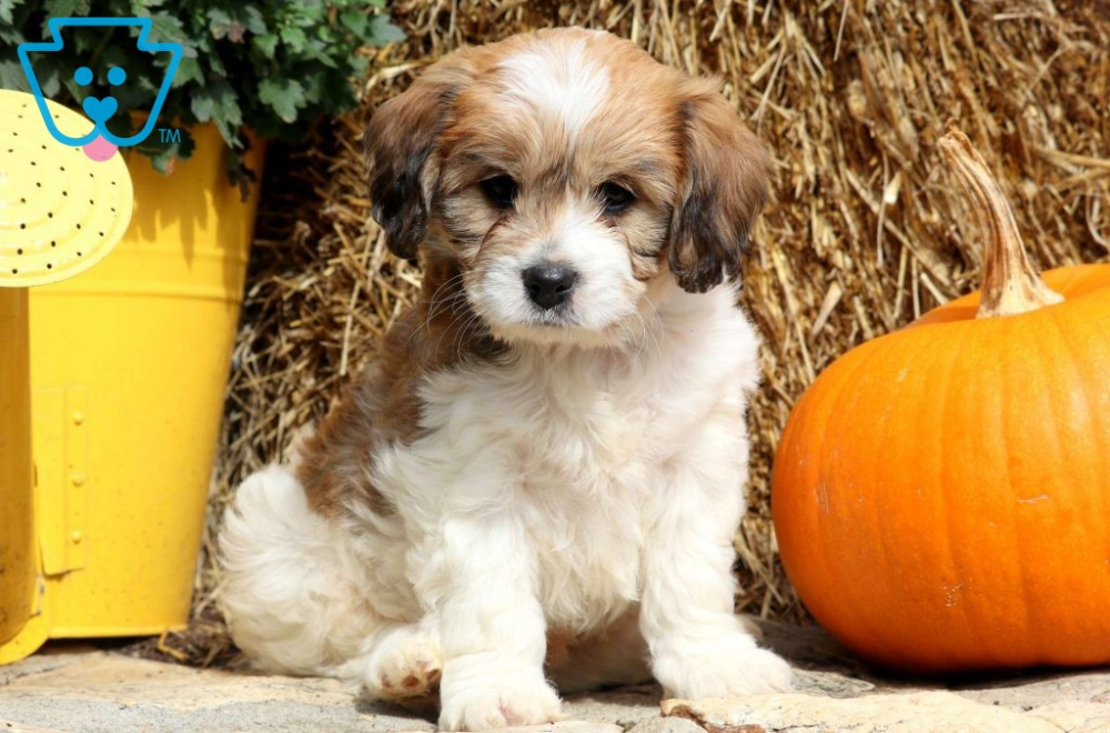 Dallas Cavachon puppies, Cavachon, Puppies for sale