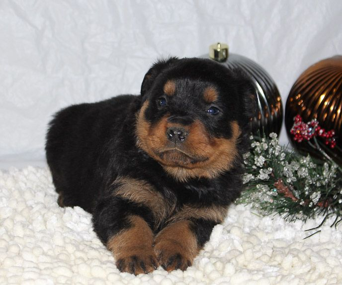 Corbin A Male AKC Rottweiler Puppy for Sale in Indiana