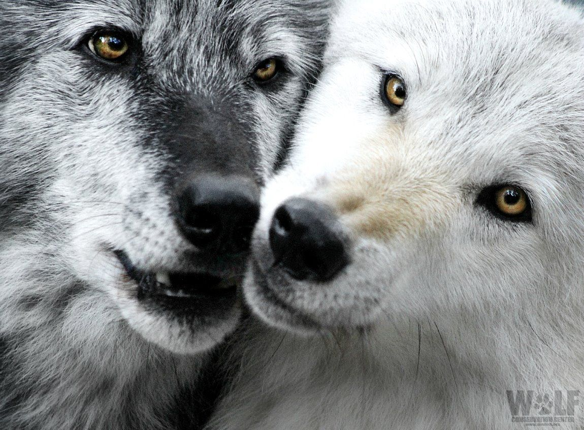 A beautiful and unique  Wolf