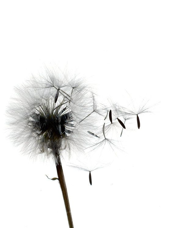 Dwarf dandilion iii 8 x 10 contemporary botanical nature print black white image