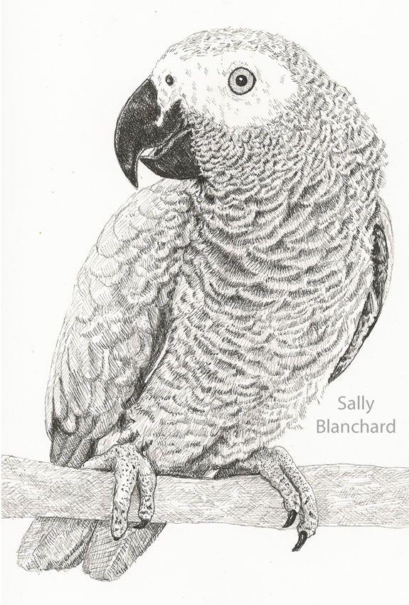Sally Blanchard Pen Drawing Congo African Grey Parrot