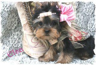 California Cuddles Yorkie Puppy Yorkie Puppy For Sale Toy Yorkie