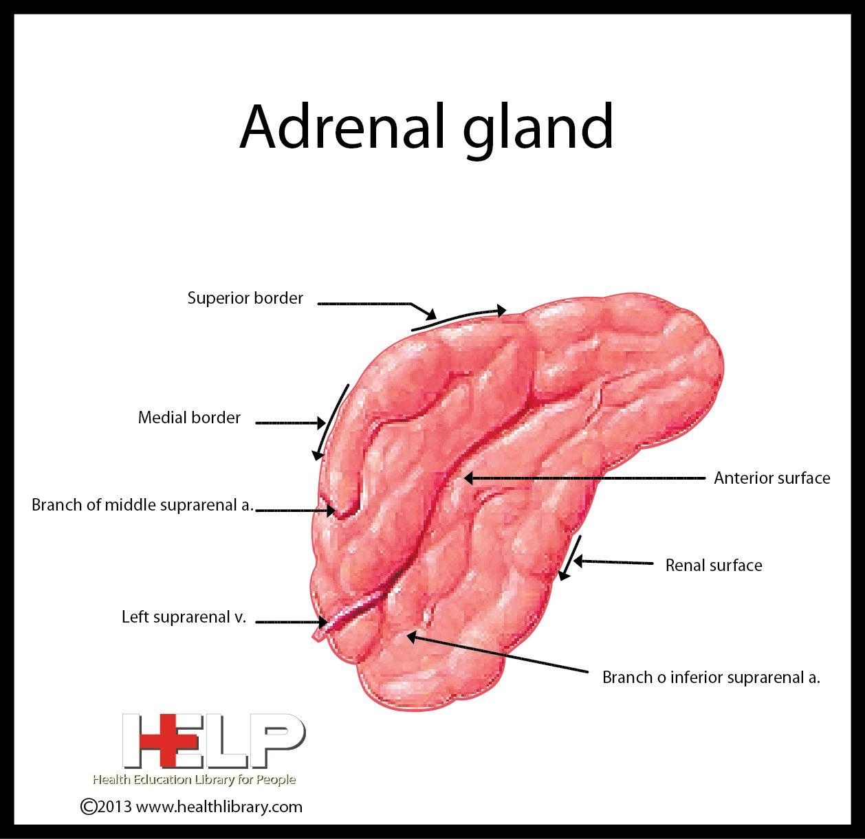 Adrenal Gland Endocrine System Pinterest Adrenal Glands And