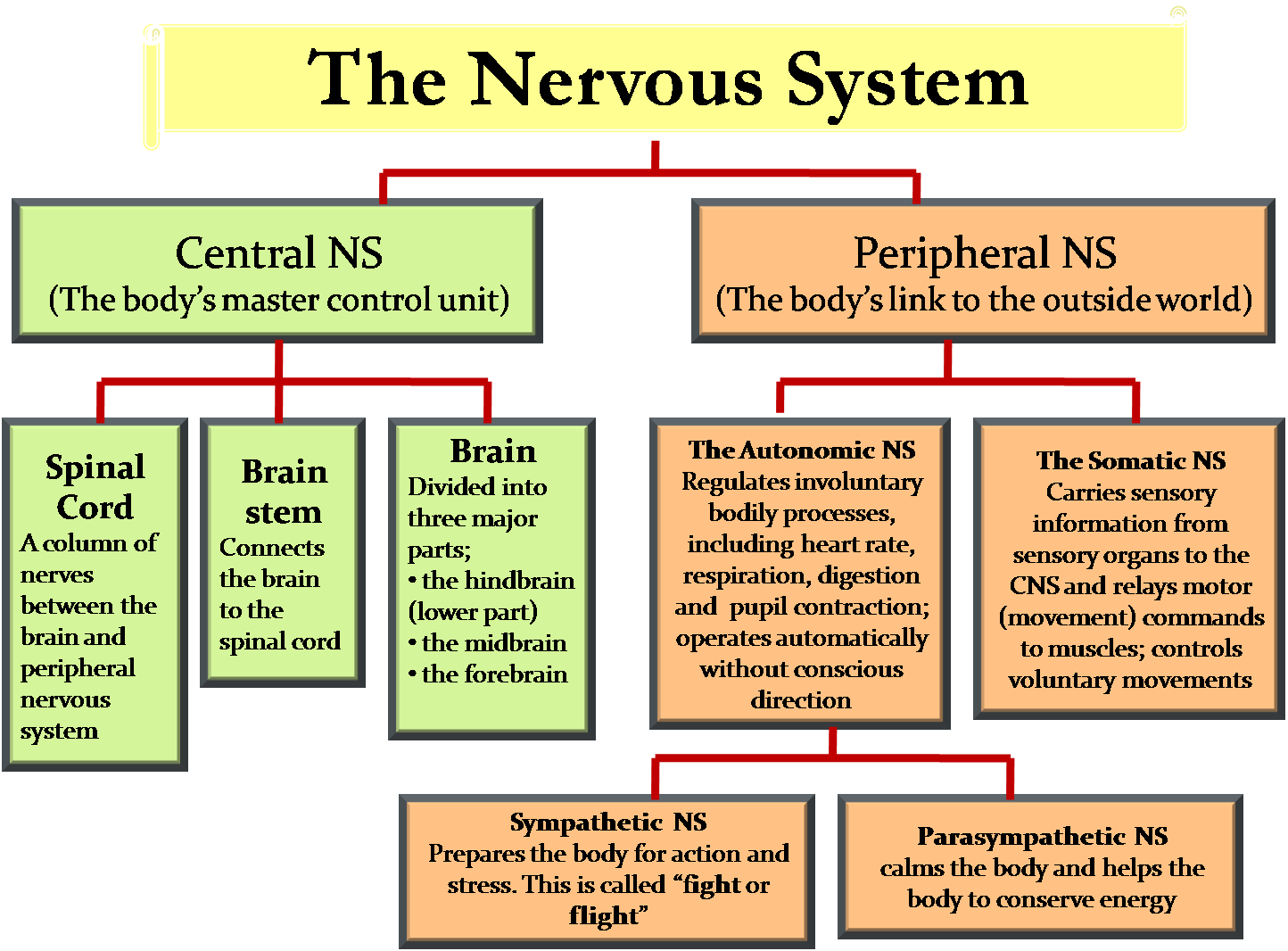 Best 25+ Peripheral nervous system ideas on Pinterest ... | 1444 x 1066 png 57kB