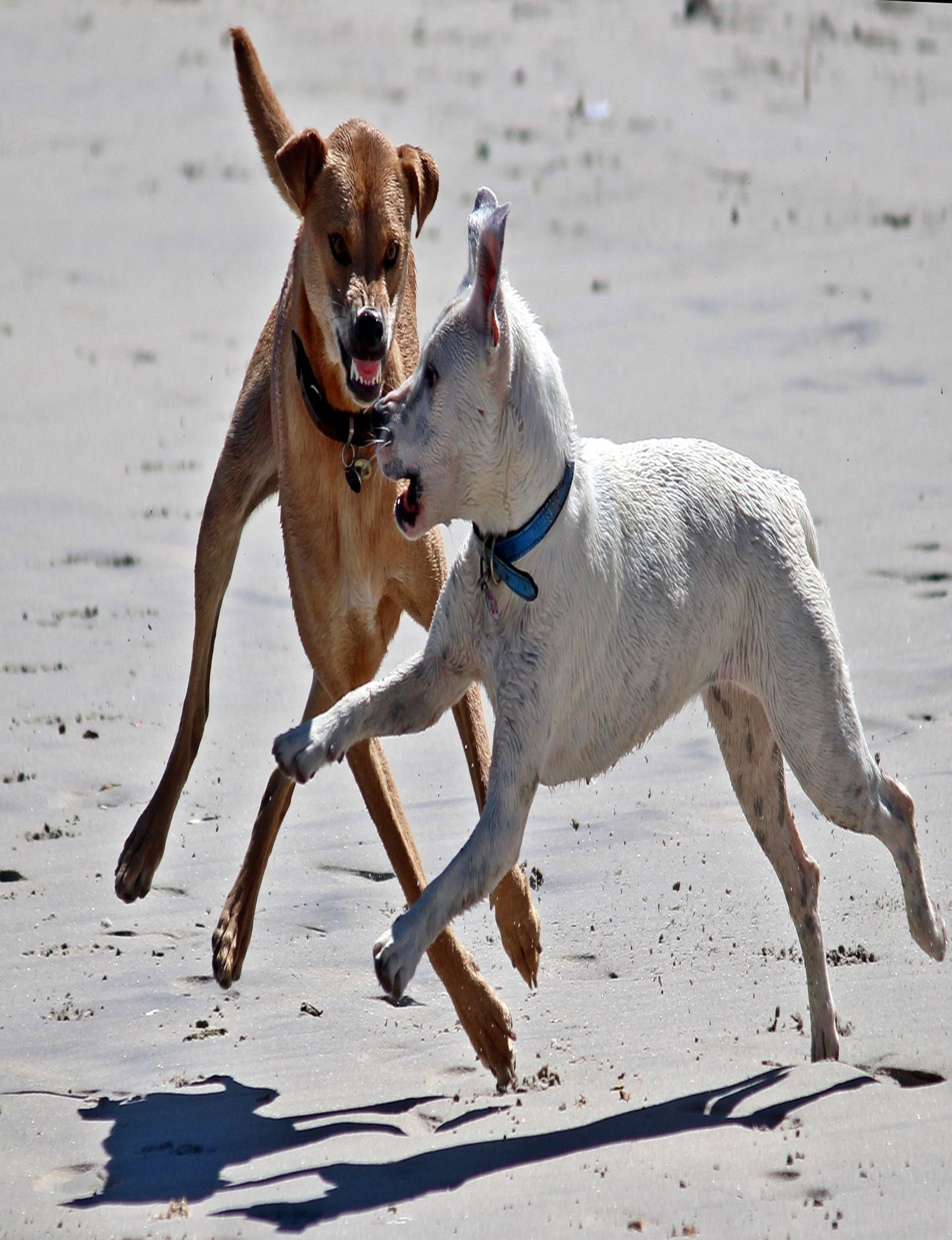 DOGS PLAY dogs play Beach dangerous Attack tooth