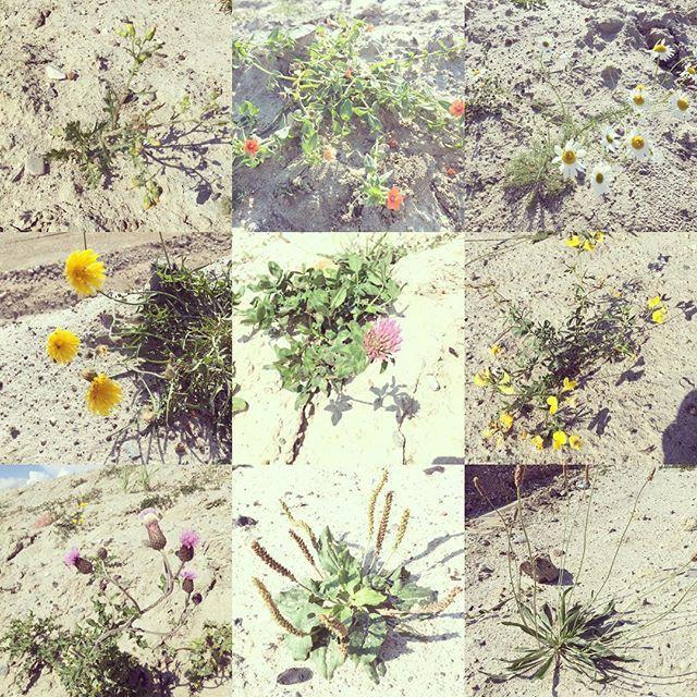Ukrudt kan også være smukt  #photo #ukrudt #plante #outdoor #danmark #job #greengarden #gardeningtips #gardening #garden #have #haven #haveselskabet #haveselskab #haveglæde by erlamamma