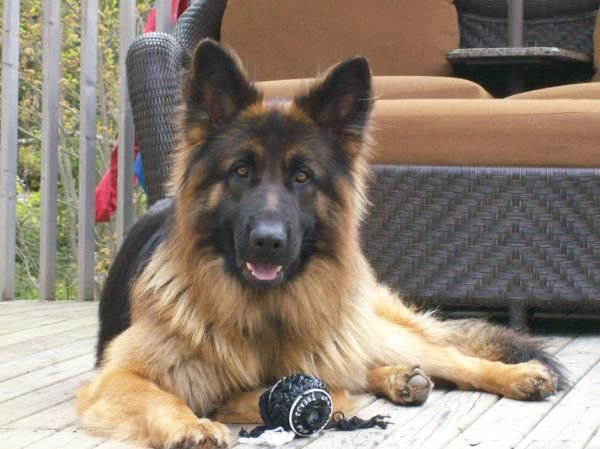 Long haired german shepherd breeders queensland