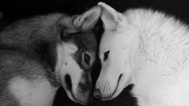 Wolves - image #2382473 by taraa on Favim.com