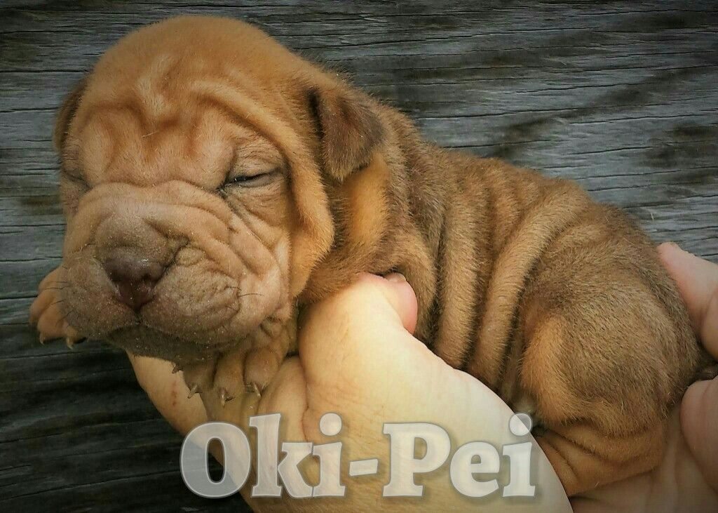 Toy Shar Pei Shar Pei Shar Pei Puppies Cute Dogs