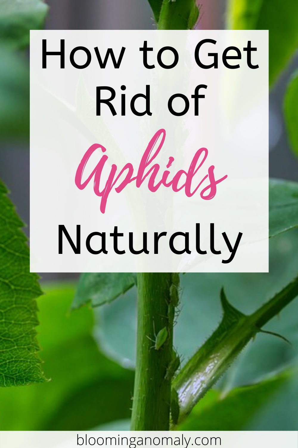 Get Rid Of Aphids Naturally Get Rid Of Aphids Aphids On Plants Aphids