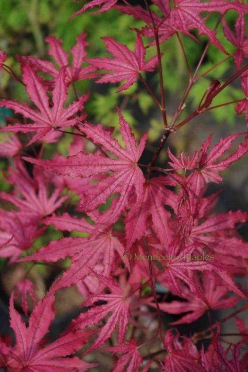 Amagi shigure   Mendocino Maples Nursery