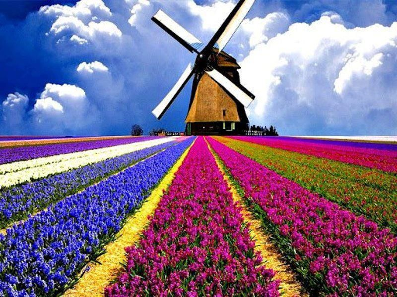 Windmill and Tulips | Tulips and windmills | Pinterest ... Dutch Windmill Painting