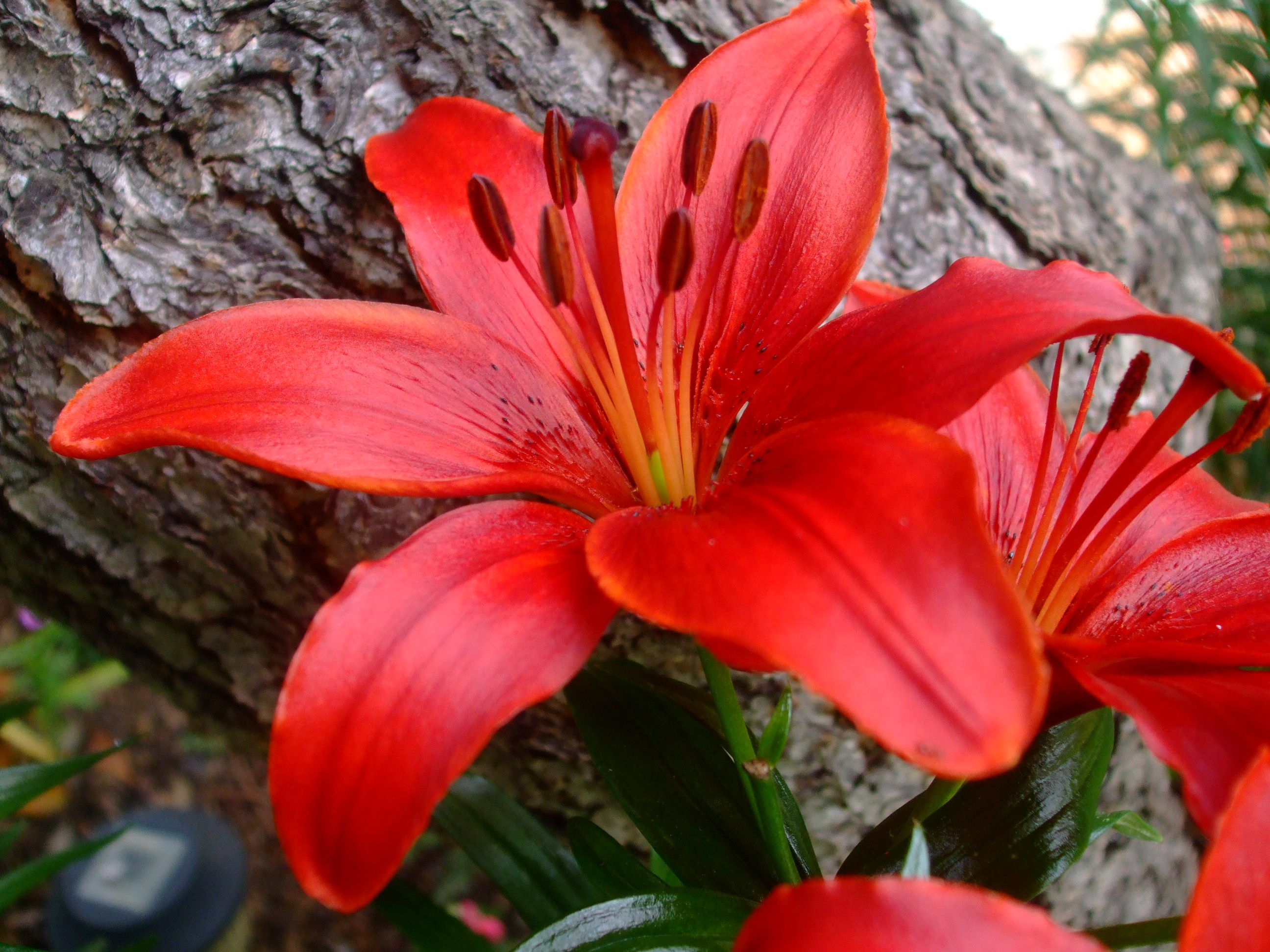 Red lily flowers pinterest red lily flowers and gardens red lily izmirmasajfo