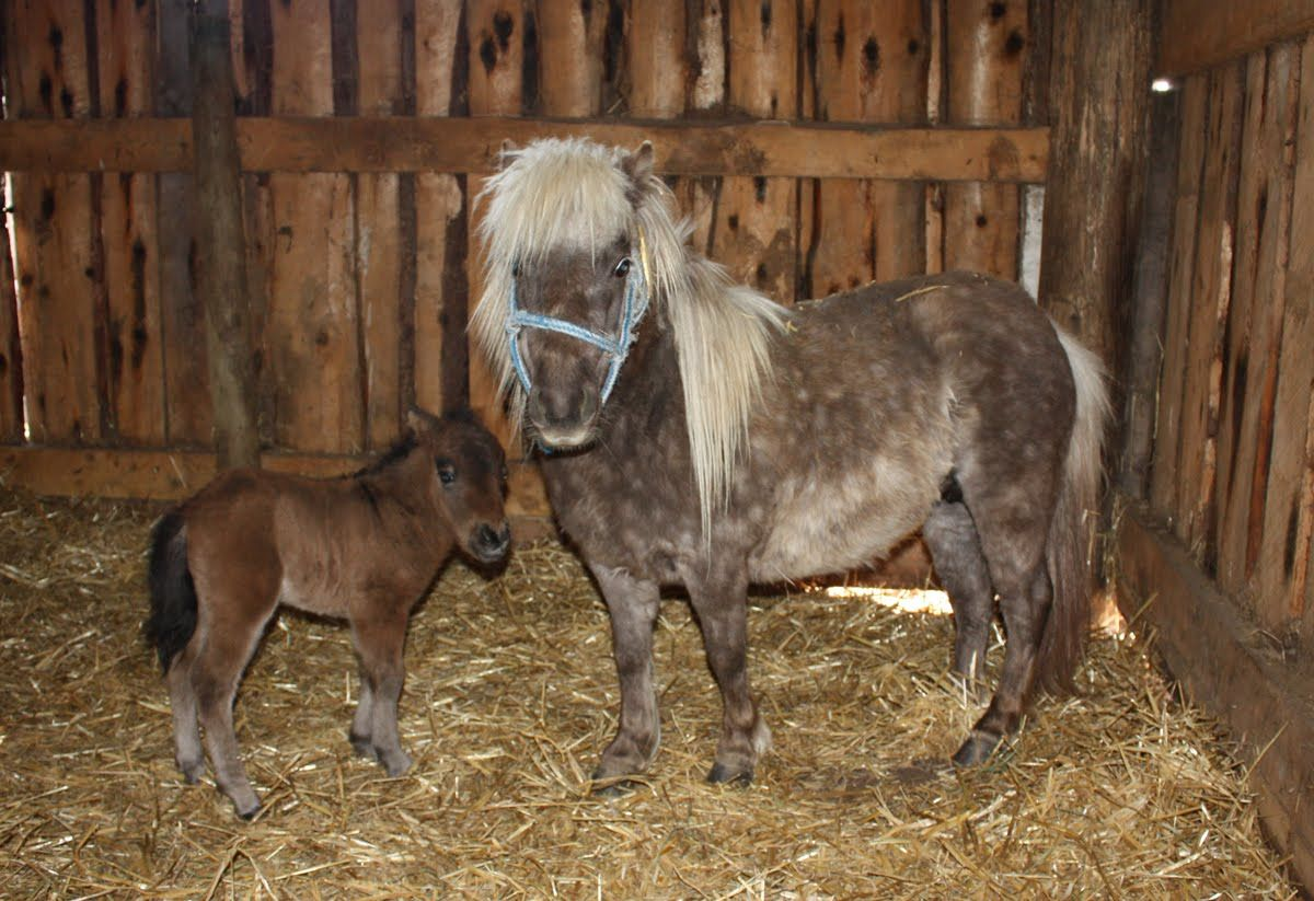 cute baby horses | stray seven acres: visit to the miniature baby