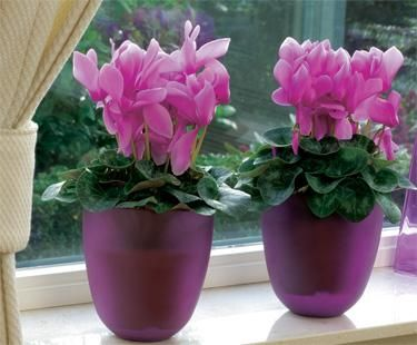 For Pots Cyclamen Bloom IQ Garden Pinterest Garden ideas
