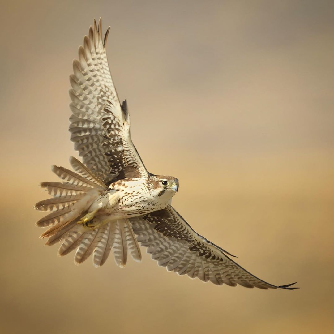 John L Crawley Birds On Instagram A Prairie Falconers Flies Low Over A Grassland Landscape In Northern Utah Prairie Falcons Are Large Falcons Native To T I 2020