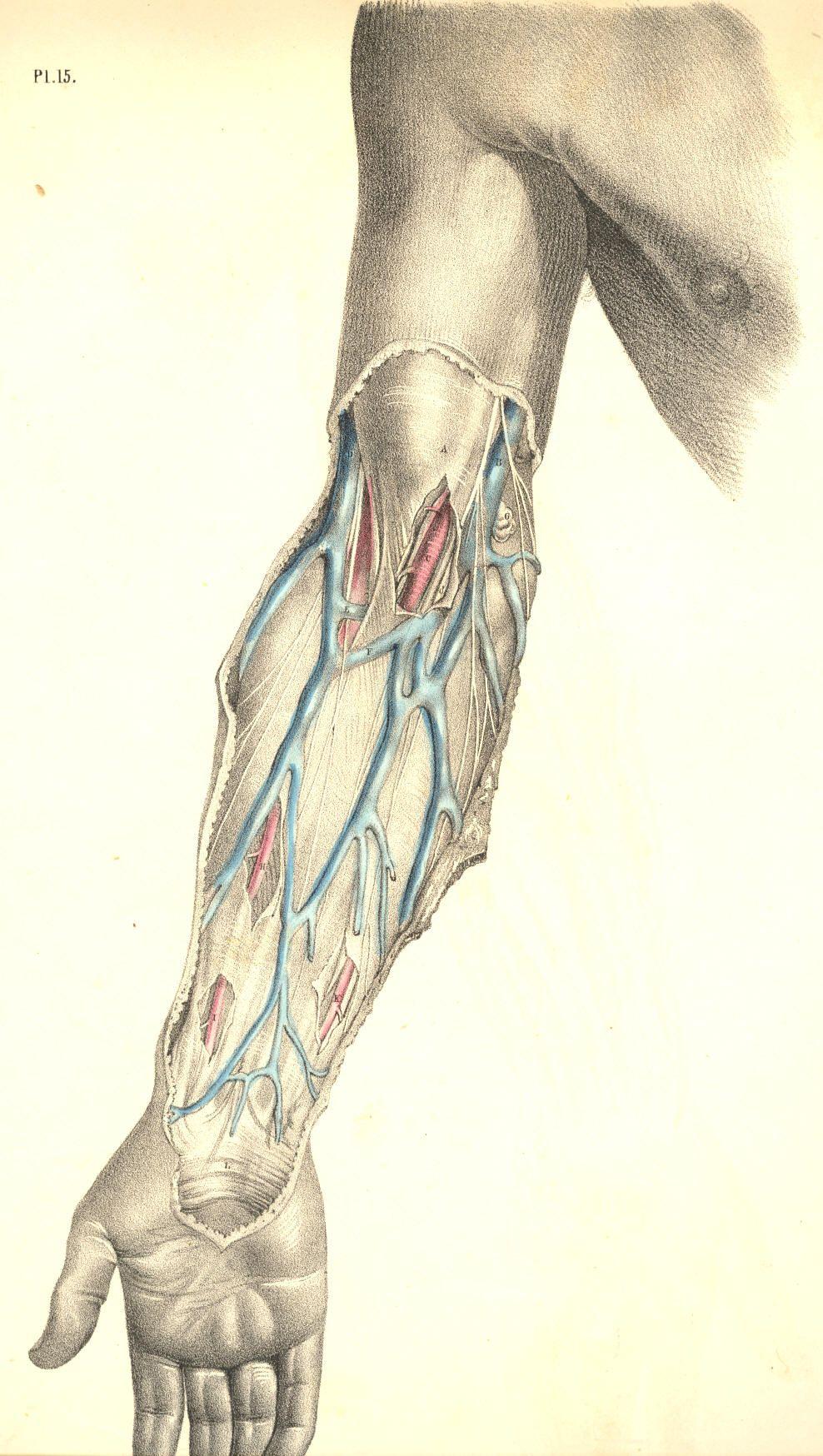 Basilic Vein Veins Anatomy Pinterest Anatomy Andreas Vesalius