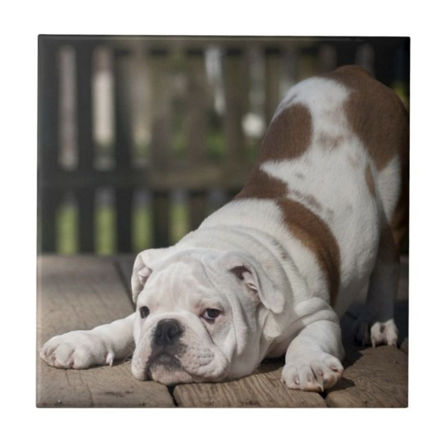 English Bulldog Puppy Tile Zazzle Com Adorable Funny And