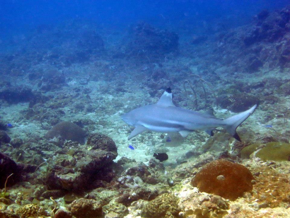 Black tip shark archeologia