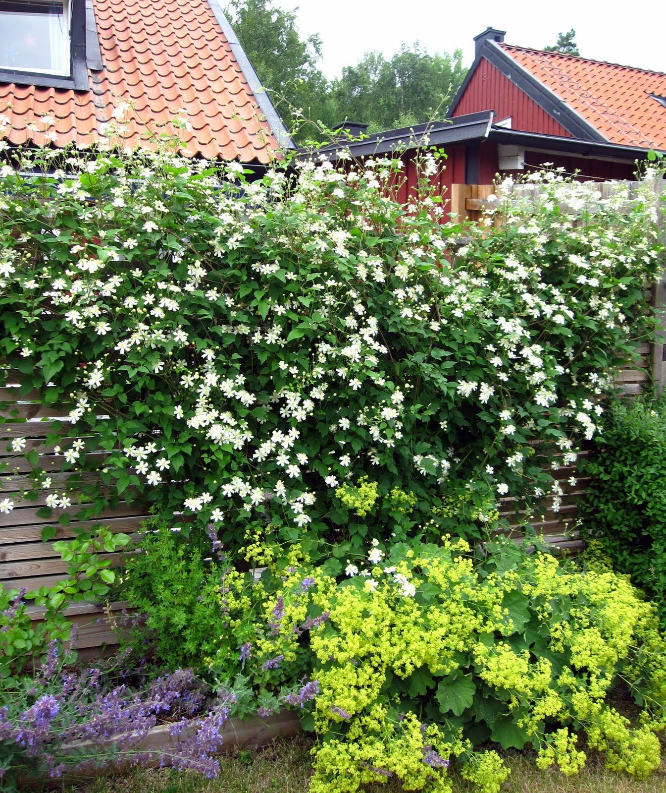 clematis vitalba paul farges summer snow clematis. Black Bedroom Furniture Sets. Home Design Ideas