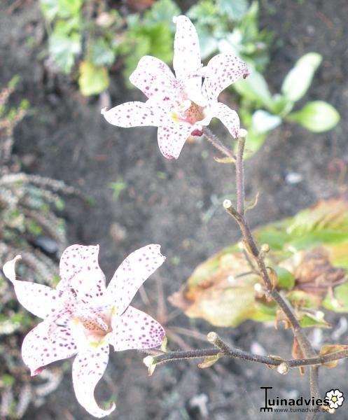 Paddenlelie / arme lui 's orchidee - Tricyrtis formosana &#039 ...