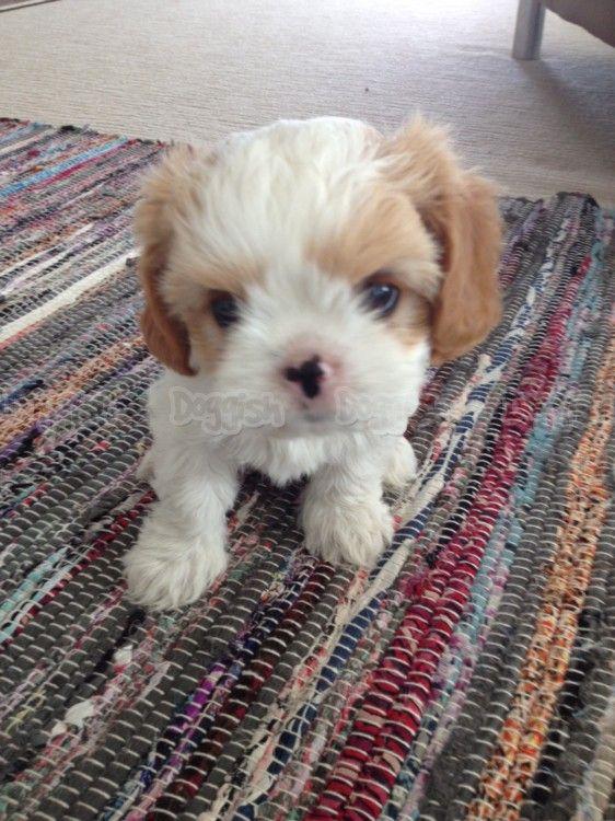 ♥D♥ 321 CAVAMALT PUPPY DESIGNER DOGS I Pinterest