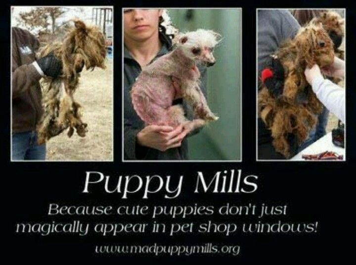 Where Do Pet Store Puppies Come From Puppy Mills Pet Store Puppies