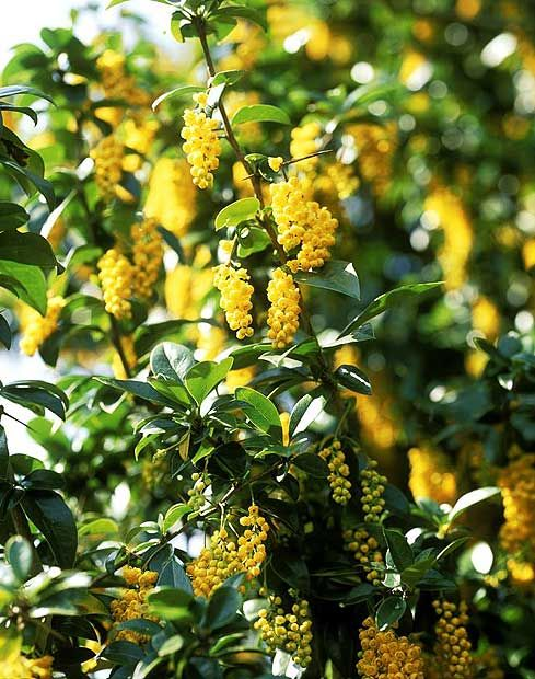 Berberis valdiviana is an evergreen shrub slow growing at first but 10 best spring flowering shrubs in pictures mightylinksfo