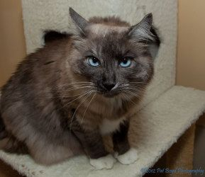 Scrabble Is An Adoptable Ragdoll Cat In San Francisco Ca Scrabble Is A Sweet Front Declawed Cat Who Was Recently Returned Because His Guardian S New Bab