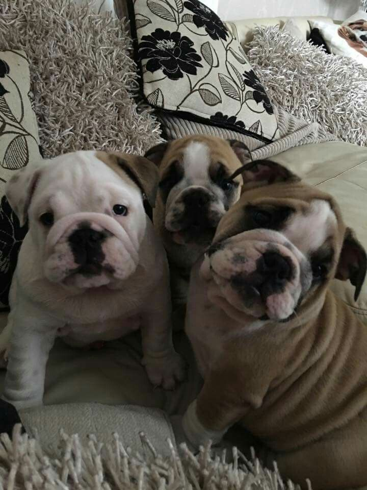 Pin On English Bullies Jax And Belle Bulldog English Bulldog