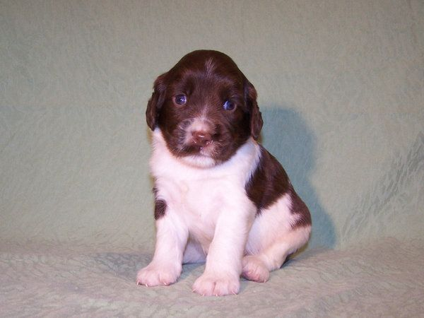 Litter Of 2 English Springer Spaniel Puppies For Sale In Kilkenny
