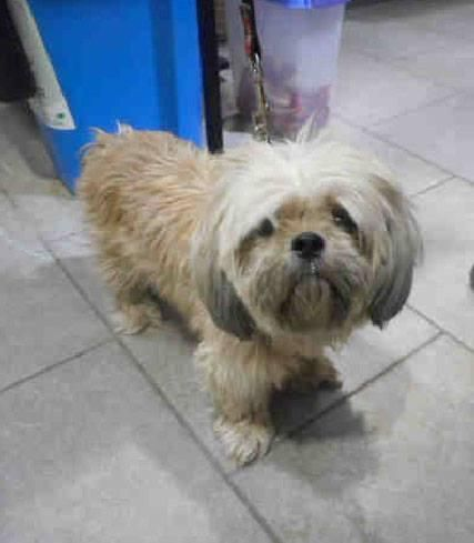 Adopt Ms Muffy Foster Home Needed On The Fosters Shih Tzu Dog