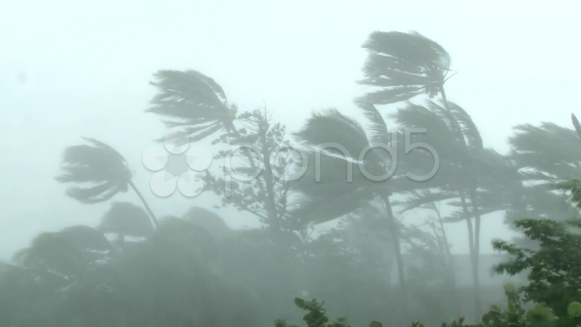 Palm Trees Sway Heavily In Hurricane Winds Stock Footage Sway Heavily Palm Trees Hurricane Winds Palm Trees Hurricane