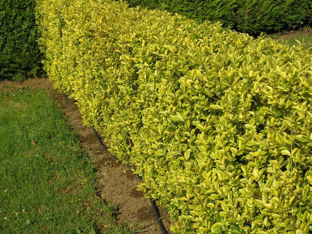 Ligustrum Ovalifolium Aureum Bushes and shrubs, Shrubs