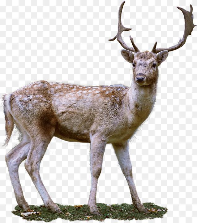Fallow Deer Png Roe Deer Antler Fallow Free Photo On Pixabay 637 720 Png Download Free Transparent Background Fallow Deer Png Roe Deer Deer Deer Antlers