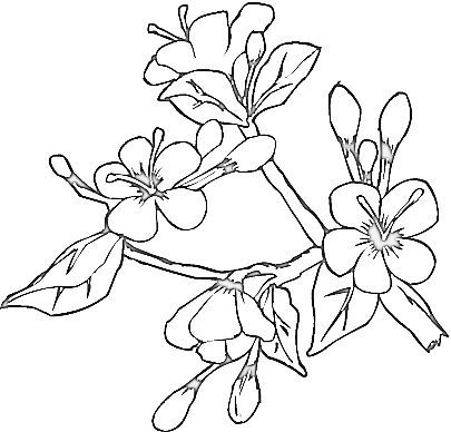 Cherry Blossom Flower Coloring Pages Spring Coloring Pages