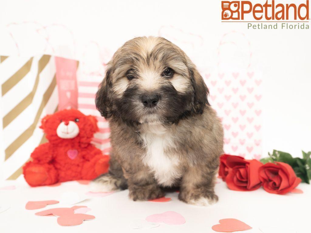 Puppies For Sale Havanese Puppies For Sale Havanese Puppies