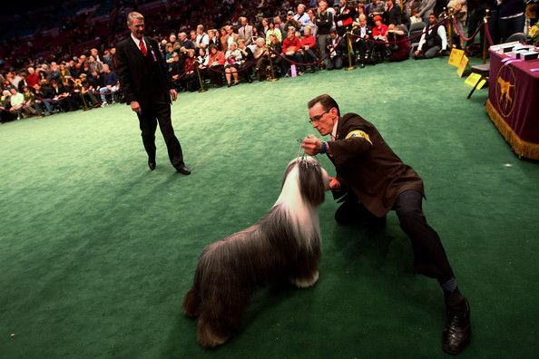 Champion Dogs Compete At Westminster Dog Show Westminster Dog